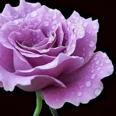Lavender rose with droplets
