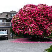 Amazing 125 Year Old Rhododendron Tree
