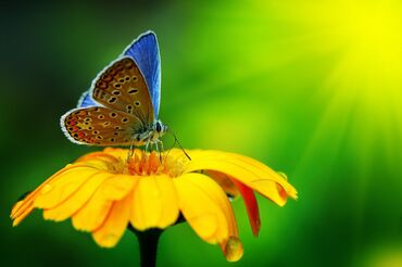 Blue butterfly on a yellow flower