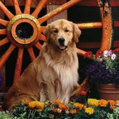 Golden Retriever with Flowers