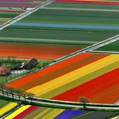 Tulip Flower Fields, Amsterdam