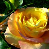 Yellow rose on the lawn