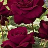 my second favourite colour of roses