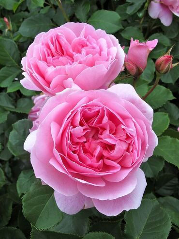 Maid Marion' Rose