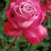 Blue River Rose
