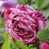 Rose 'Ferdinand Pichard' France