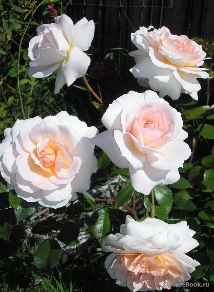 shrub rose 39 schloss eutin. Black Bedroom Furniture Sets. Home Design Ideas