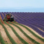 How lavender is harvested