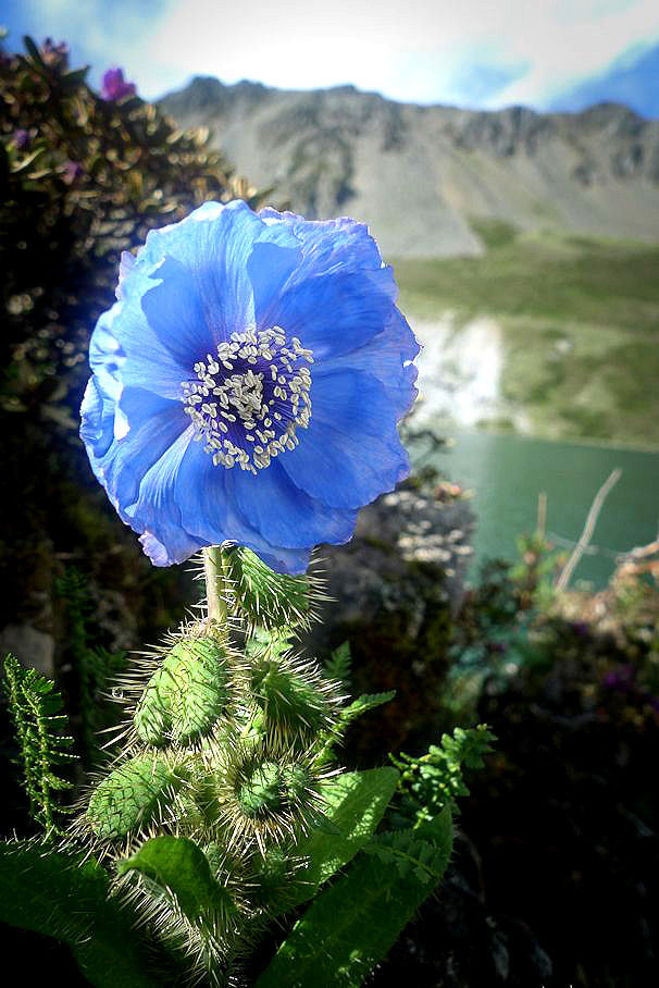 Himalayan Blue Poppy 'Meconopsis'