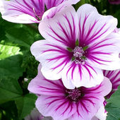 Mallow, French Hollyhock