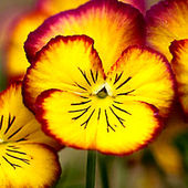 Awesome Pansies