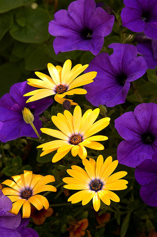 Cape Daisies and Petunias