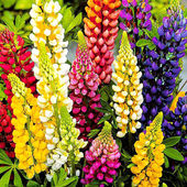 Colorful Dwarf Lupins