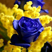 Mimosa & Blue Rose