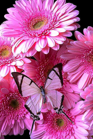 White butterfly on pink Gerbera Daisies