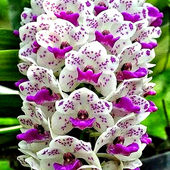 Beautiful Spotted Orchid