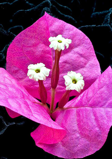 Three small Bougainvillea