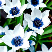Flowers blue & white