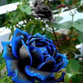 Blue black rose