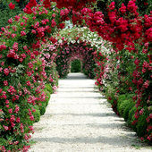 A gorgeous canopy of roses.