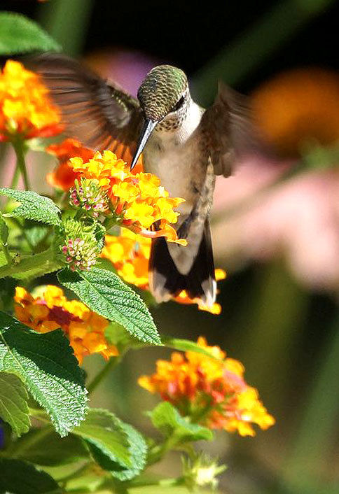 essay song hummingbird Imagine living in a civilization that practiced human sacrifice and ritual dances, and then one day that civilization no longer exists because another culture decided to.