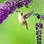 Hummingbird & Butterfly Bush