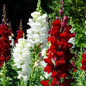 White & Red Snapdragons