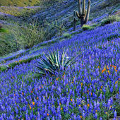 Arizona Desert in Bloom