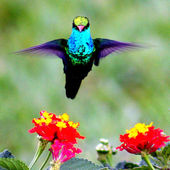 To attract more hummingbirds to your yard, plant lantana