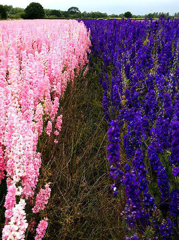 Delphinium Flower Fields