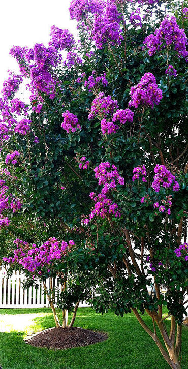 Purple Crepe Myrtle
