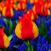 Tulips and Grape Hyacinth