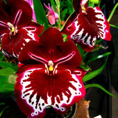 Brazilian Red Orchid