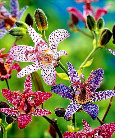 Mixed Toad Lillies