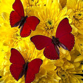 Red butterflies on yellow flowers
