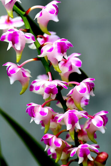 White & Purple Orchid