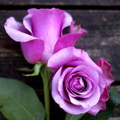 Two Lavender Roses