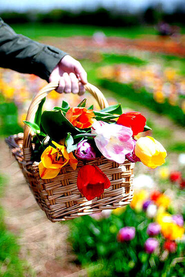 Basket of colorful tulips