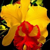 Yellow & Red Orchid