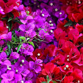 Colorful Bougainvillea
