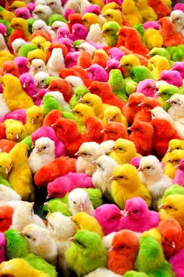 Little Colorful Chicks