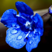 Blue Flower After Rain