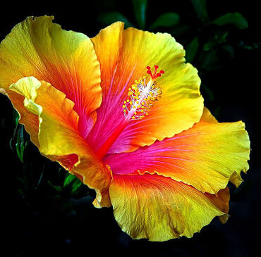 Hibiscus in gorgeous colors