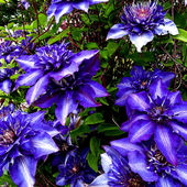 Purple Clematis - Gorgeous