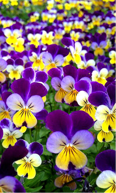 Beautiful Violas