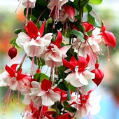 Awesome Fuchsia