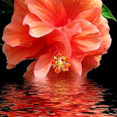 Hibiscus - Gorgeous Color Coral