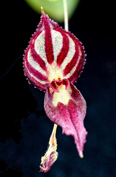 Miniature-orchid: Lepanthes katleri