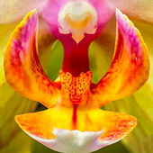 Orchid - close up