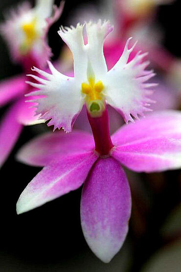 Epidendrum Wedding Valley 'Sakura' Orchid